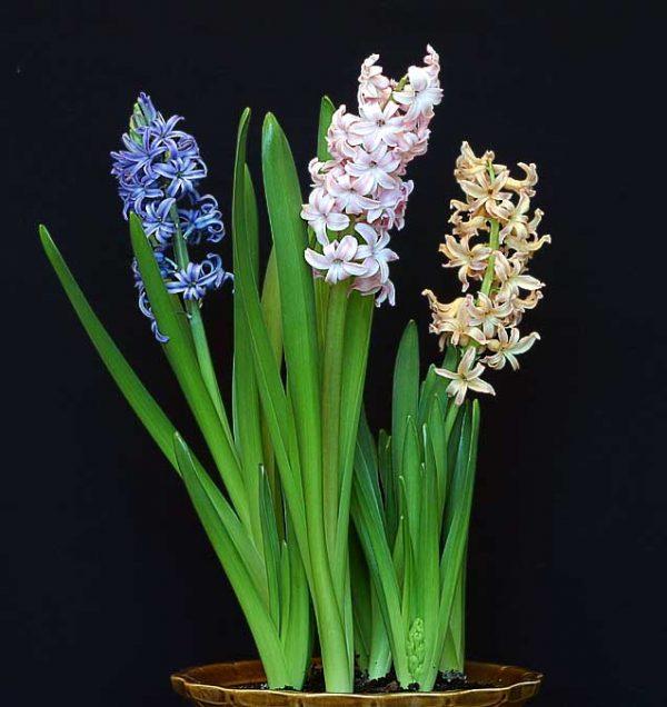Гиацинт с увядающими цветами, которые нужно срезать