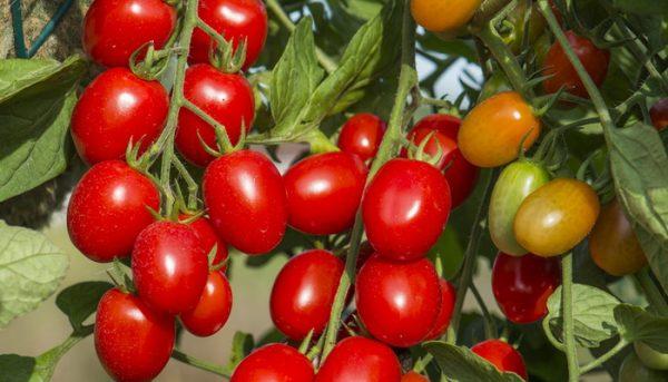 Гибридный сорт томатов