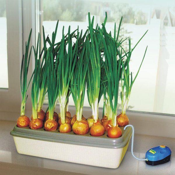 Гидропонная установка позволяет луку прорастать быстрее и эффективнее
