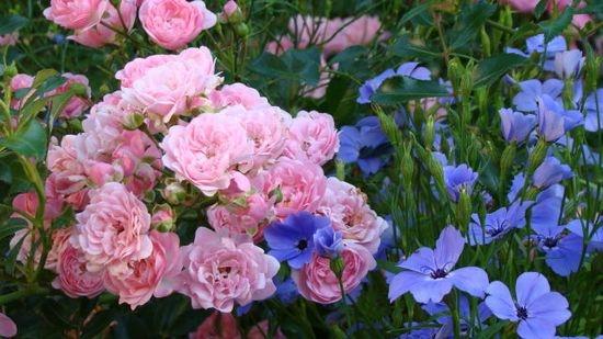 Голубая вискария прекрасно смотрится рядом с кустовой розой