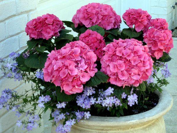 Гортензию можно выращивать в саду или декоративных емкостях