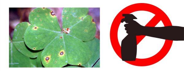 Грибковое поражение листьев оксалиса