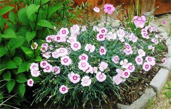 Гвоздики высаживают на хорошо освещенных участках сада