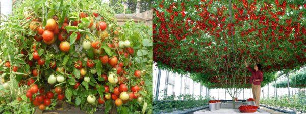 Индетерминатные томаты. Справа легендарный сорт Спрут.