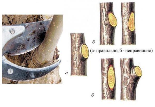 Инструкция по обрезке веток