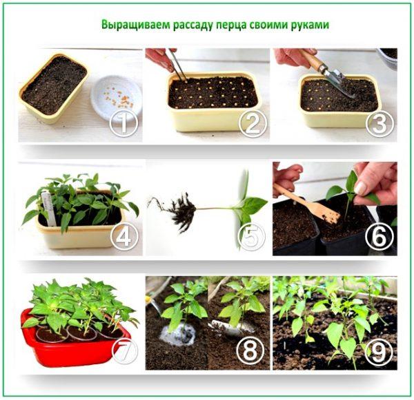 Инструкция по выращиванию рассады
