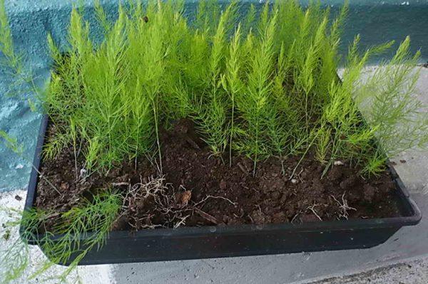 Используя землю с огорода в качестве почвы для контейнера, вы заранее приучаете растение к его будущему постоянному месту