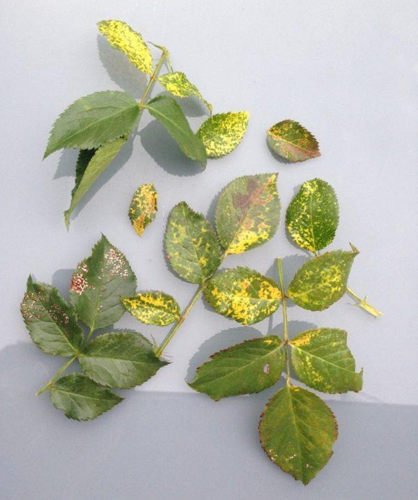Хлороз на листьях растения