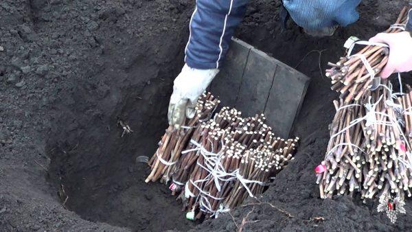 Хранение посадочного материала в траншеях