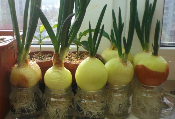Как посадить лук дома