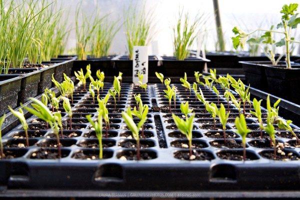 Как сажать семена перцев на рассаду