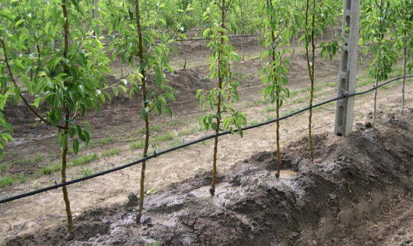 Капельный полив - оптимальный вариант для колоновидных яблонь