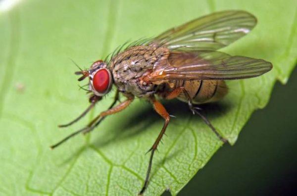 Капустная муха - опасный паразит, который атакует савойскую капусту