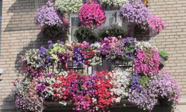 Карликовые сорта можно выращивать на балконах