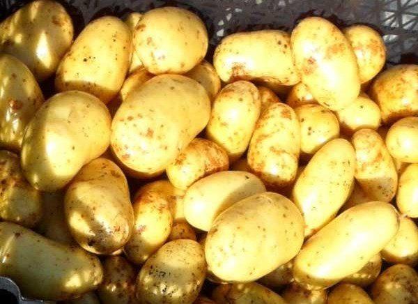 Картофель Латона