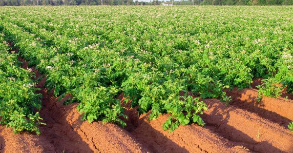 Картофель будет расти более здоровым, если между рядами будет достаточно свободного пространства