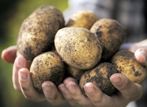 Картофель сорта Провенто