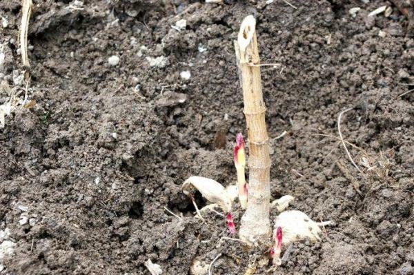Клубень георгина высаживается в лунку 30 - 35 см
