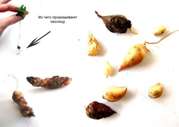 Клубни и луковицы кислицы
