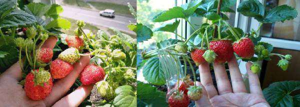 Клубника на балконе - это витамины 365 дней в году