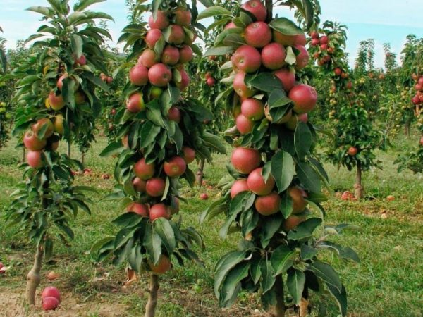 Колоновидные яблони для северо-западного региона