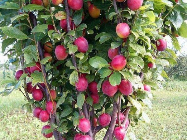 Колоновидные яблони выглядят очень нарядно и отличаются высокой урожайностью