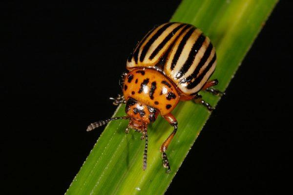 Колорадский жук — главный вредитель сельскохозяйственной культуры