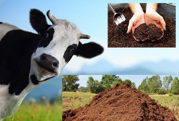 Коровяк — одно из лучших удобрений