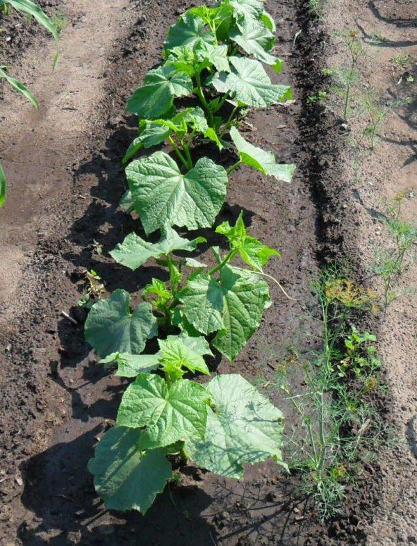 Крепкую расаду стоит своевременно высадить на почву