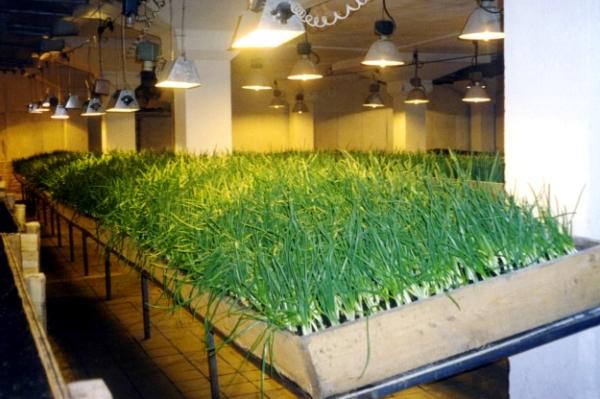 Культуру можно выращивать на огороде или в теплице