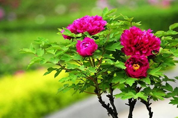 Куст покрытый листвой оригинальной формы служит украшением сада сам по себе