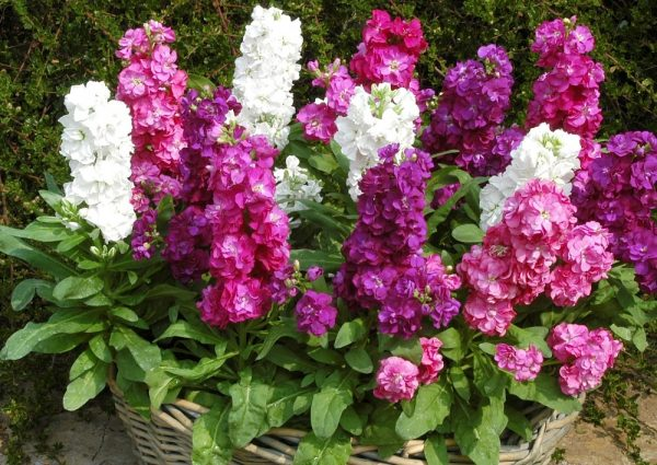 Левкой, или маттиола - эффектная декоративная культура с тонким ароматом