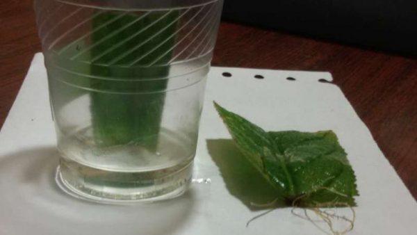 Лист стрептокарпуса можно на несколько дней поместить в воду. У него появятся длинные корни, с которыми растение сажают в грунт