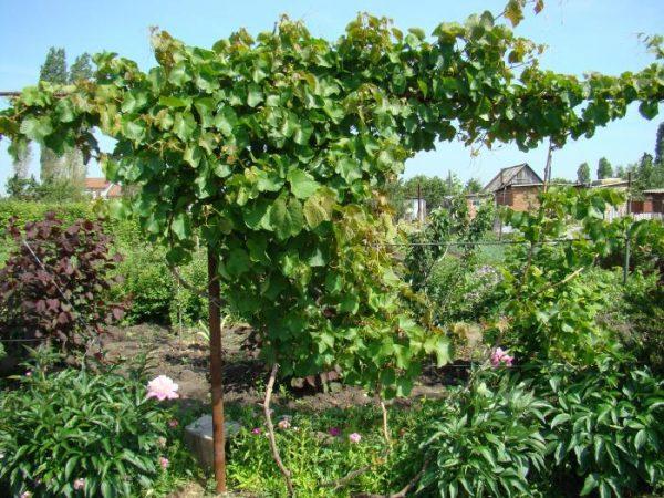 Лоза винограда Аметистовый
