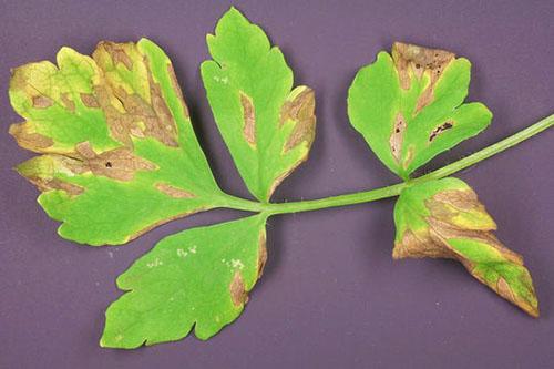 Ложная мучная роса (пероноспороз) на листе корневой петрушки