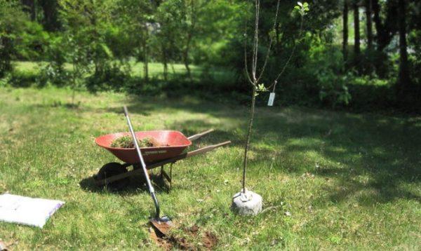Лучше всего сажать колоновидные яблони весной