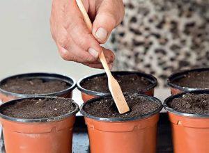 Лучшее решение для засеивания капусты - индивидуальные горшочки