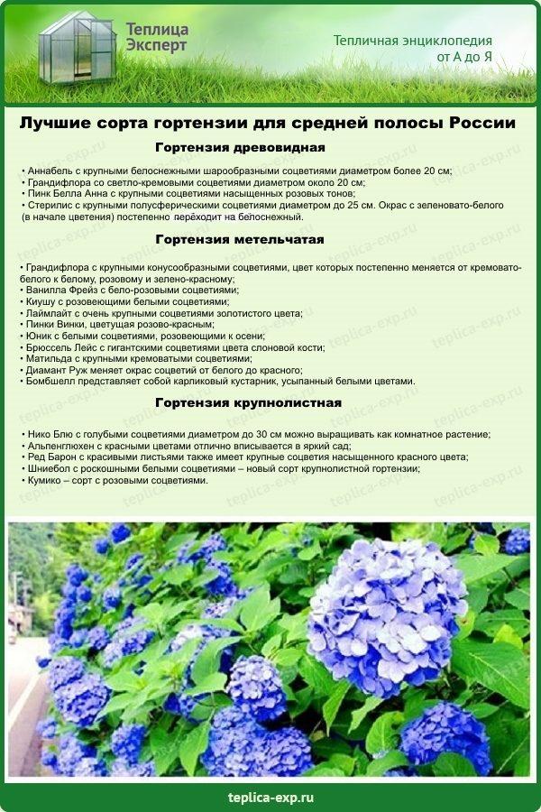 Лучшие сорта гортензии для средней полосы России