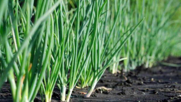 Правильный уход - обильный урожай