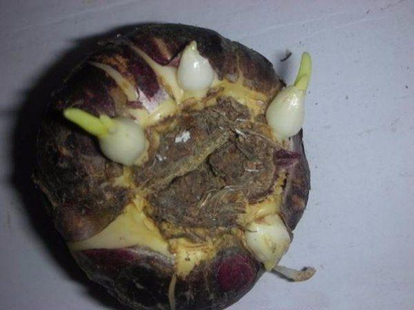 Луковица с ростками