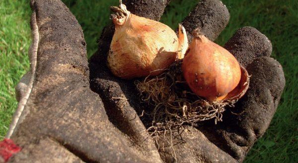 Луковицы, собранные вовремя хранятся лучше и дольше