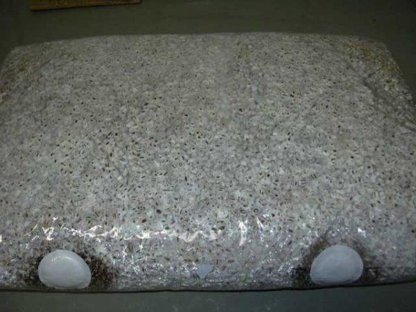 Мицелий на навозной пластине