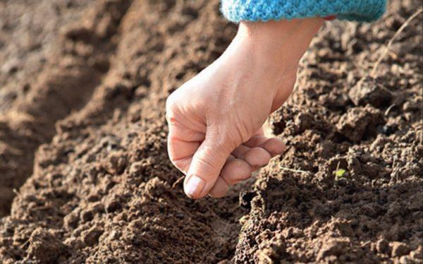 Многие дачники выбирают именно открытую посадку кларкии в почву