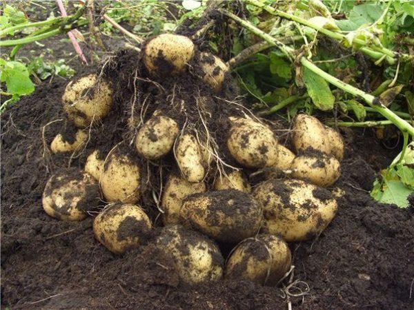 Молодой картофель легче изымается из земли, если аккуратно потянуть за его стебли