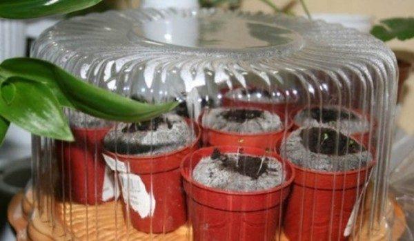 Молодые петунии в горшочках под прозрачной крышкой