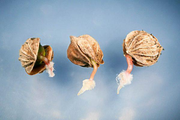 Момент, когда семена проклюнутся, нужно вовремя заметить и высадить их в грунт