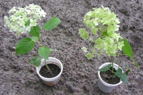 На садовые участки и клумбы саженцы лучше пересаживать в весеннее время