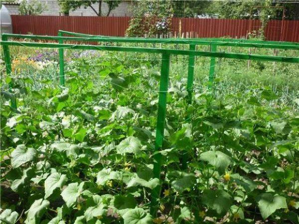 На шпалерах вырастают огурцы с обильной зеленью и множеством плодов