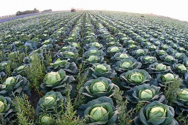 Название сорта подскажет садоводу сроки созревания сажаемой капусты