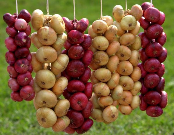 Не следует хранить лук Кармен с другими сортами, так как на них могут быть гниль и грибки